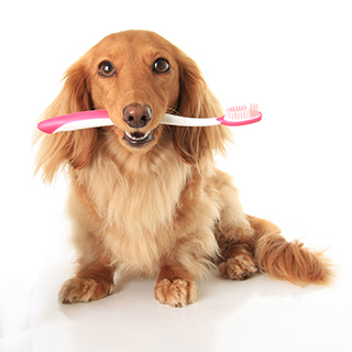 Dog holding toothbrush